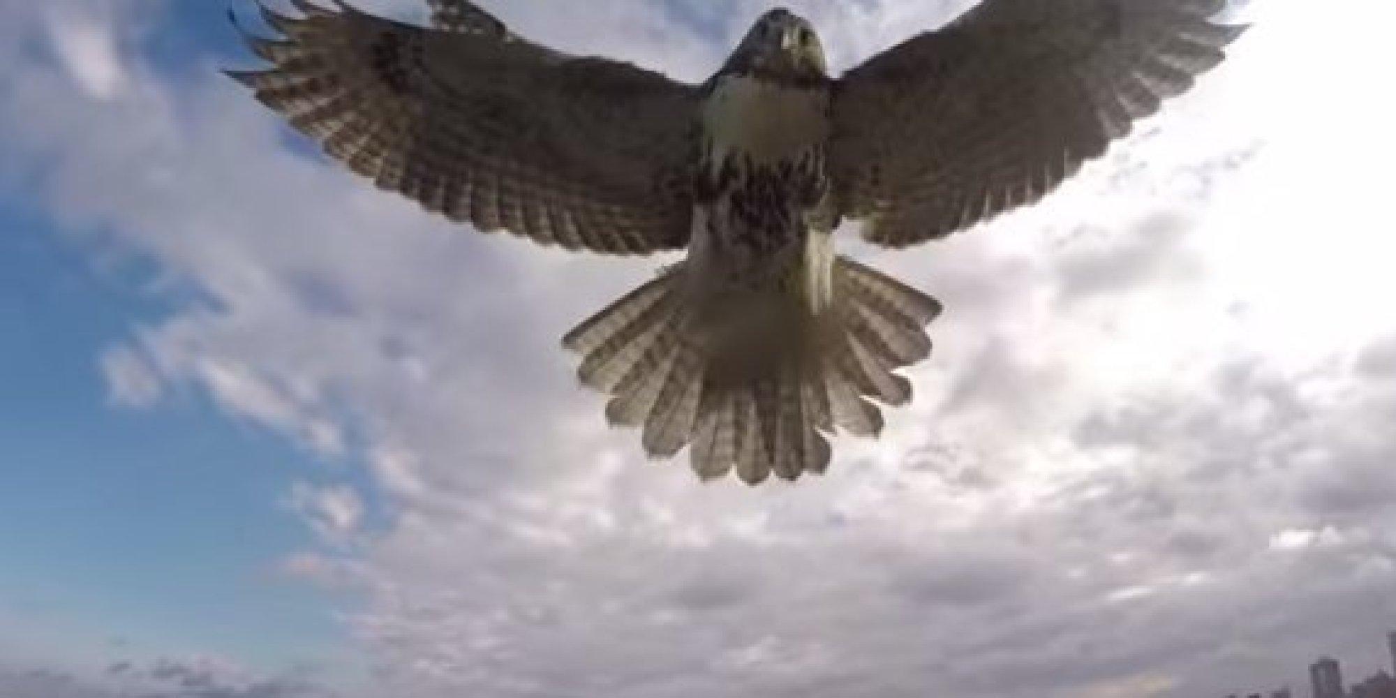 Птицы атакуют квадрокоптеры: несколько случаев нападения