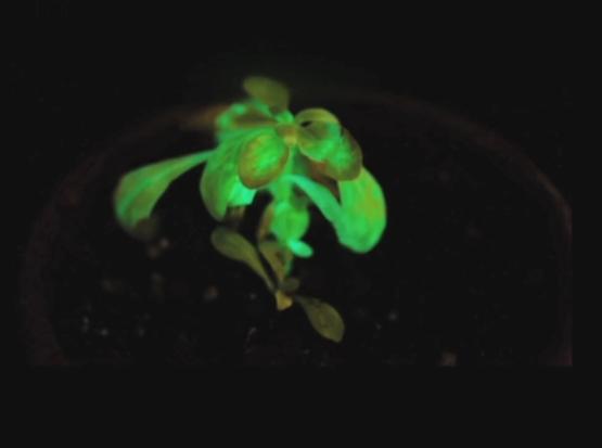 Подсветка городов будущего при помощи биолюминесценции - 2