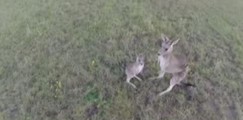 Австралийская кенгуру расправилась с назойливым беспилотником