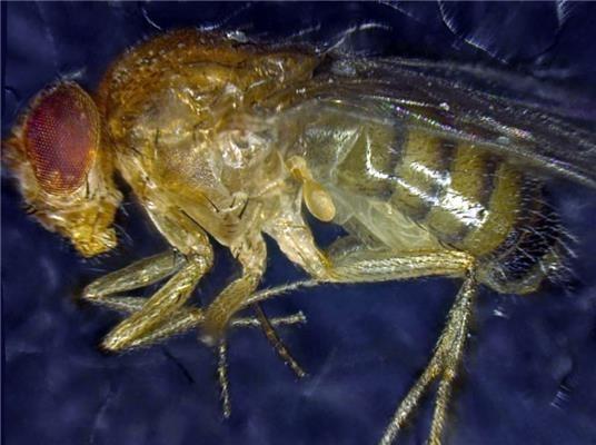 Исследование по генетическому продлению жизни мух может помочь замедлить старение - 1