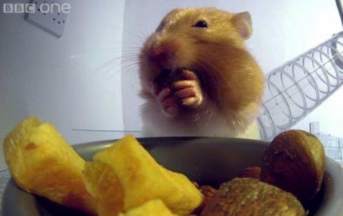 Ученые показали, сколько еды помещается в щеках у хомяка (видео)