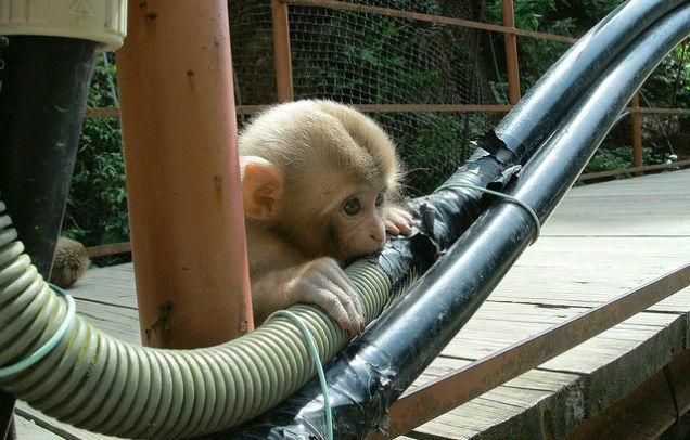 Индия, обезьянка
