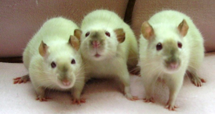 Имплантация геомагнитного компаса в мозг крысы прошла удачно - 1