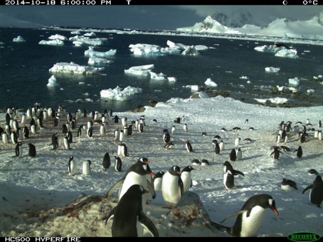 Опубликованы результаты круглосуточного наблюдения за пингвинами - 1
