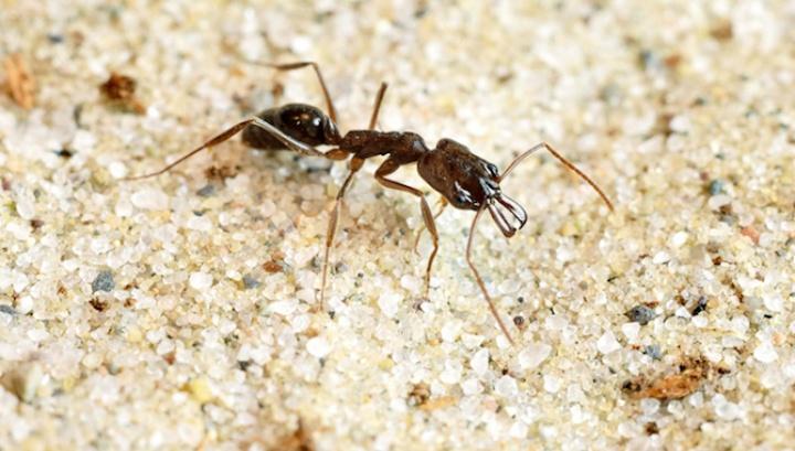 Пружинящие жвалы муравьев Acanthognathus teledectus помогают им катапультироваться из опасных мест - 1