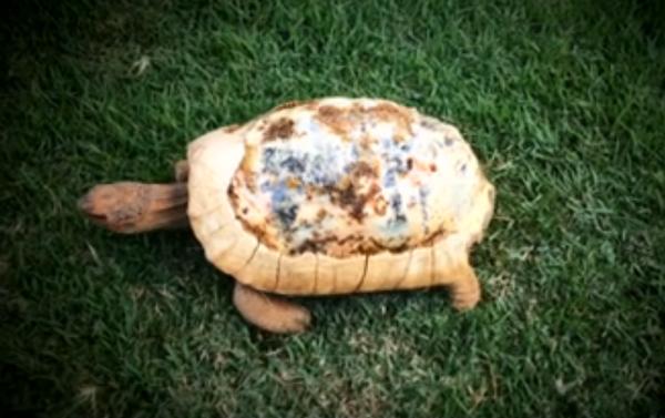Пострадавшая в лесном пожаре черепаха получила распечатанный на 3D принтере панцирь вместо родного - 2