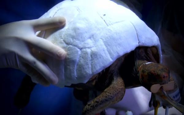 Пострадавшая в лесном пожаре черепаха получила распечатанный на 3D принтере панцирь вместо родного - 1
