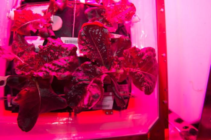 Кушать подано. Астронавты на МКС впервые попробуют выращенный на орбите салат - 3
