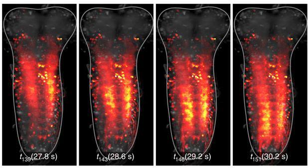 Ученые записали на видео работу нервной системы плодовой мушки - 1