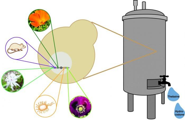 Генетически модифицированные дрожжи вырабатывают опиаты из сахара - 2
