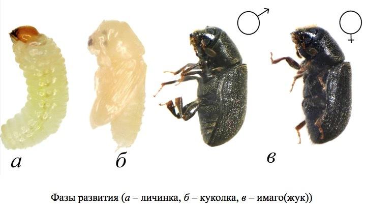 Пихтовые леса Сибири уничтожают жуки размером два миллиметра - 2
