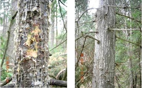 Пихтовые леса Сибири уничтожают жуки размером два миллиметра - 4