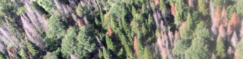 Пихтовые леса Сибири уничтожают жуки размером два миллиметра - 7
