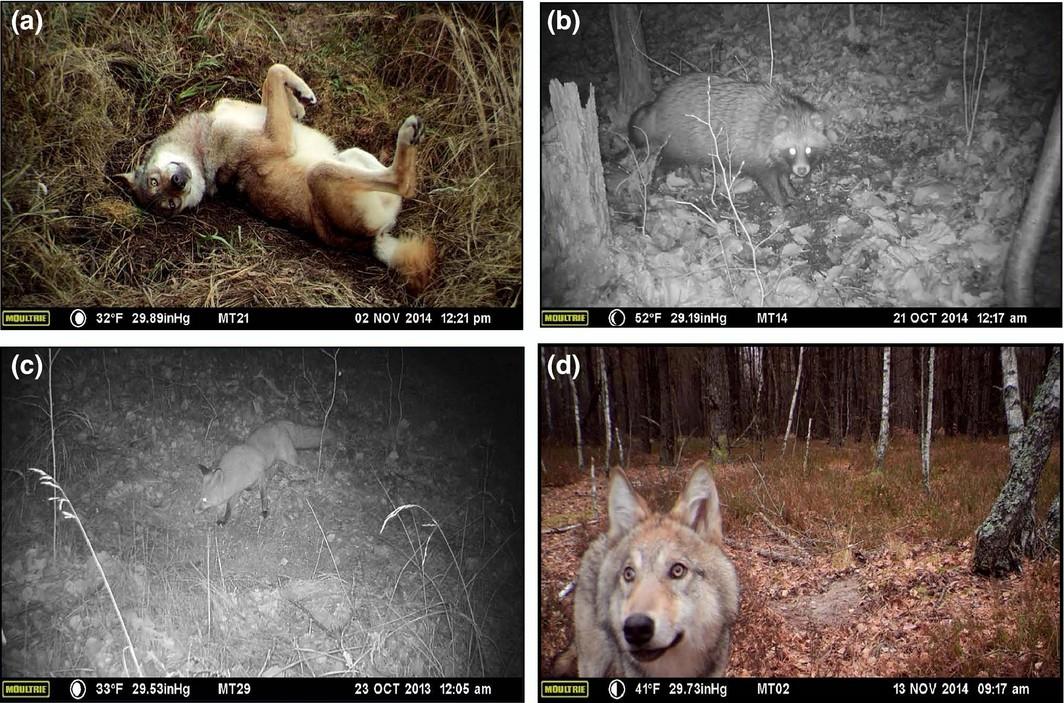 Скрытые видеокамеры сняли изобилие животной жизни в Чернобыльской зоне - 4