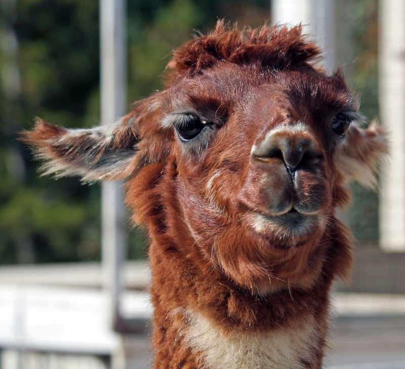 Llama. Один из мемов DeviantArt