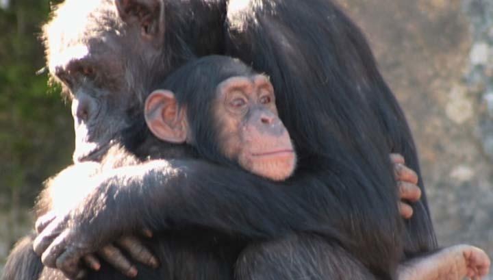 Что общего в поведении политиков и шимпанзе? - 4