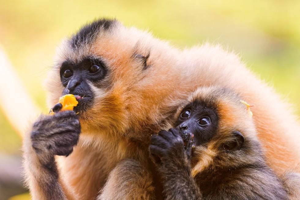 Низшие приматы тоже предпочитают алкогольные напитки - 4