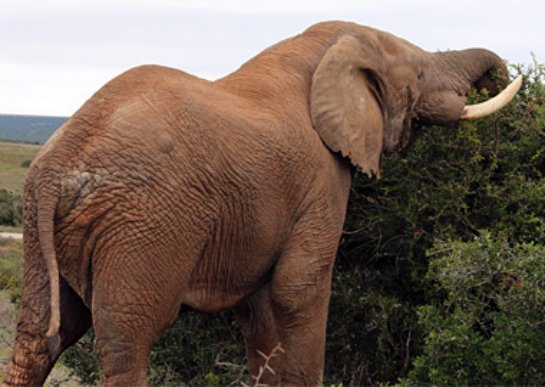 Древние слоны были травоядными