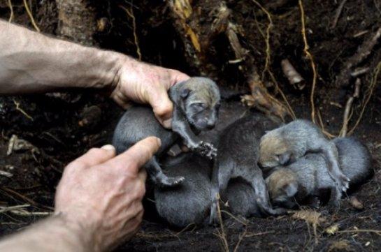 Ученые выяснили, как Чернобыльская катастрофа повлияла не местных животных
