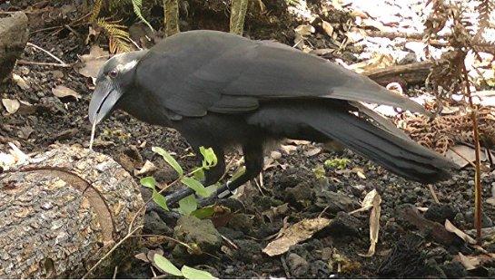 Найден еще один вид птиц, изготавливающих орудия труда