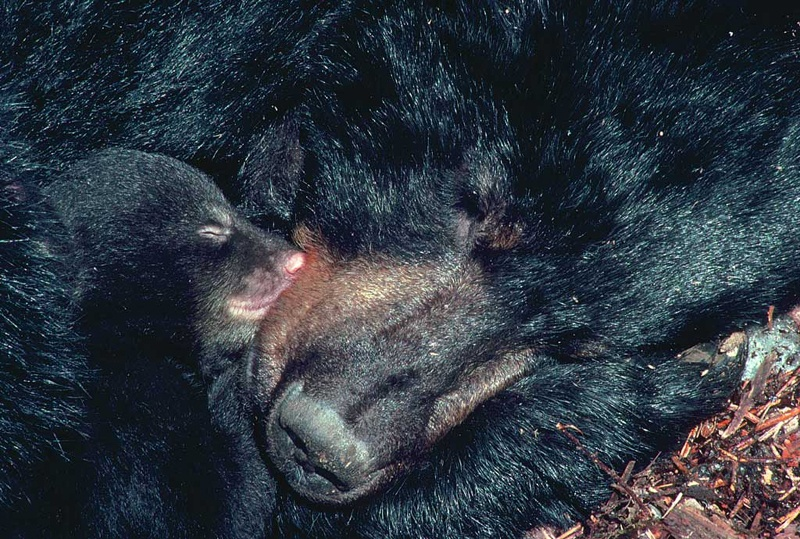 Что происходит с организмом медведя во время спячки? Комментарий специалиста - 3