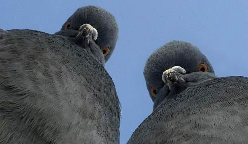 Голуби брутфорсят парадокс Монти Холла лучше людей - 1