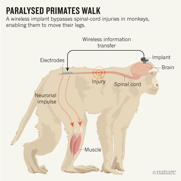 Мозговой имплантат позволил снова ходить парализованным обезьянам - 2