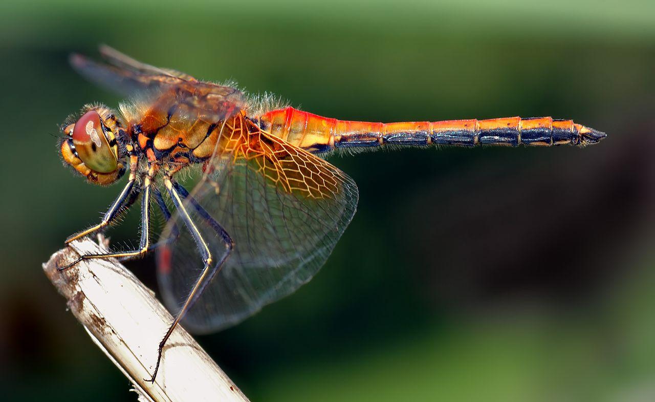 Физика в мире животных: стрекозы и их полет - 1