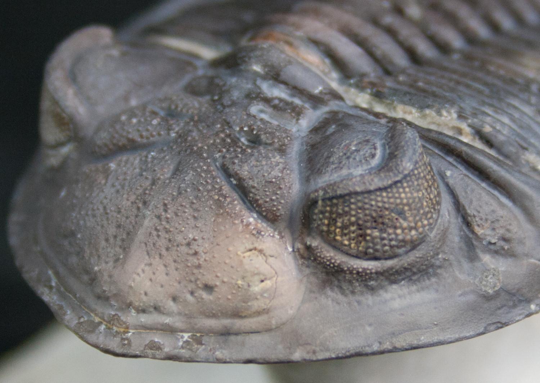 «Ископаемая креветка» аномалокарис и его сложные фасетчатые глаза - 5