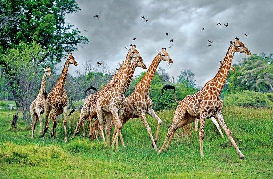 На планете вымирают жирафы
