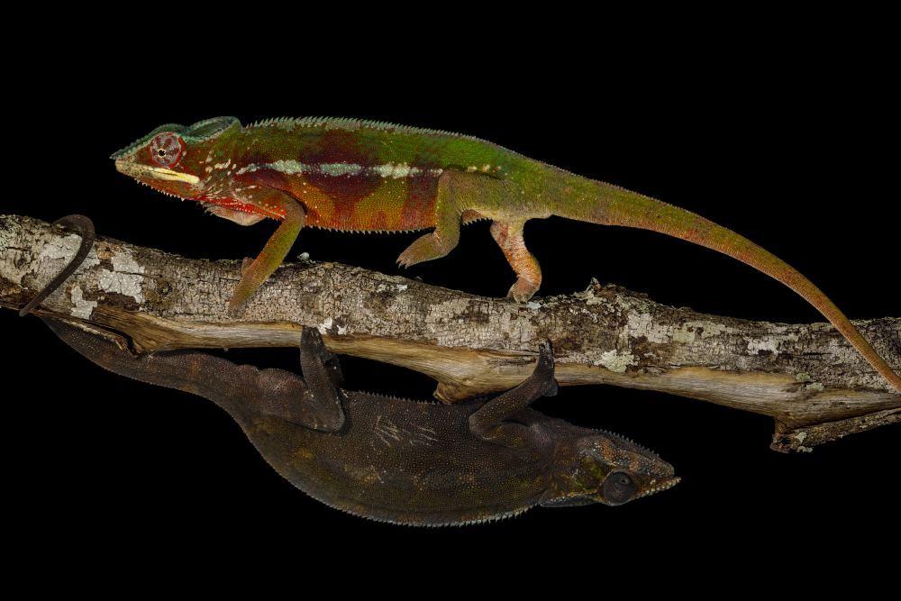 Физика в мире животных: хамелеоны и их цвет - 1