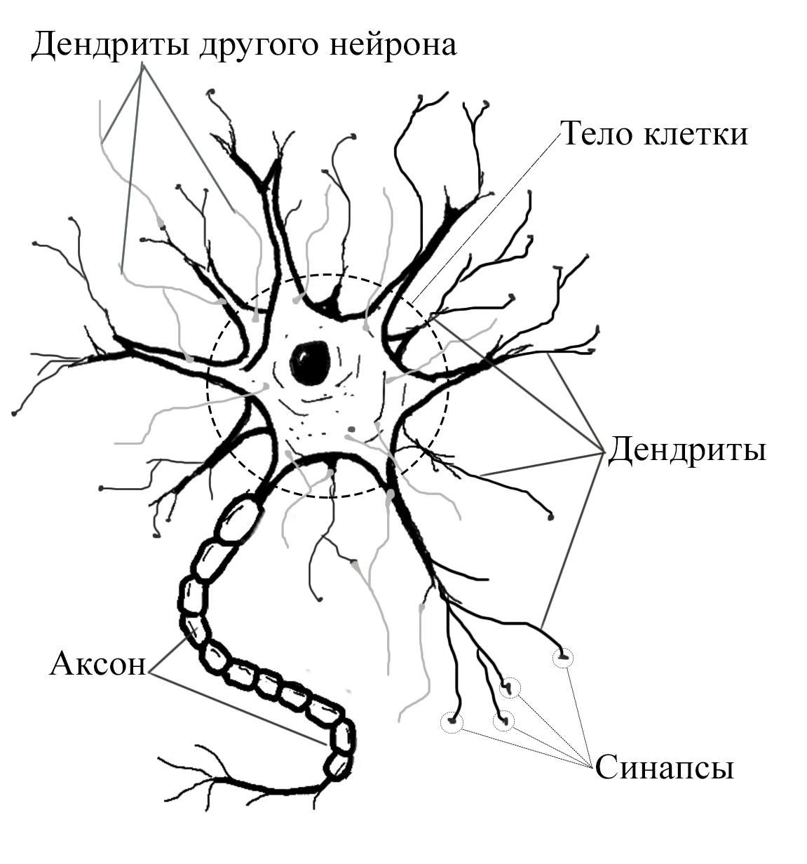Логика сознания. Часть 9. Искусственные нейронные сети и миниколонки реальной коры - 2