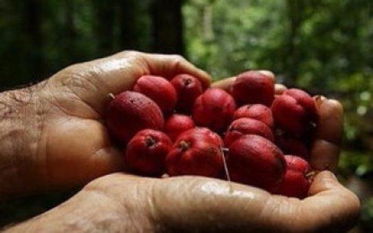 В Австралии найдены ягоды, которые помогают лечить рак