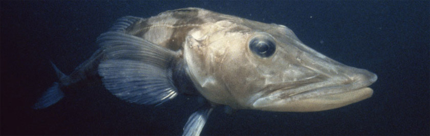 картинка ледяная рыба в антарктиде пренебрегайте направляющими линиями