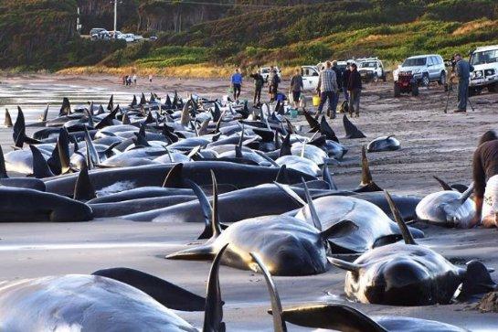 Стало известно, почему киты и дельфины выбрасываются на берег