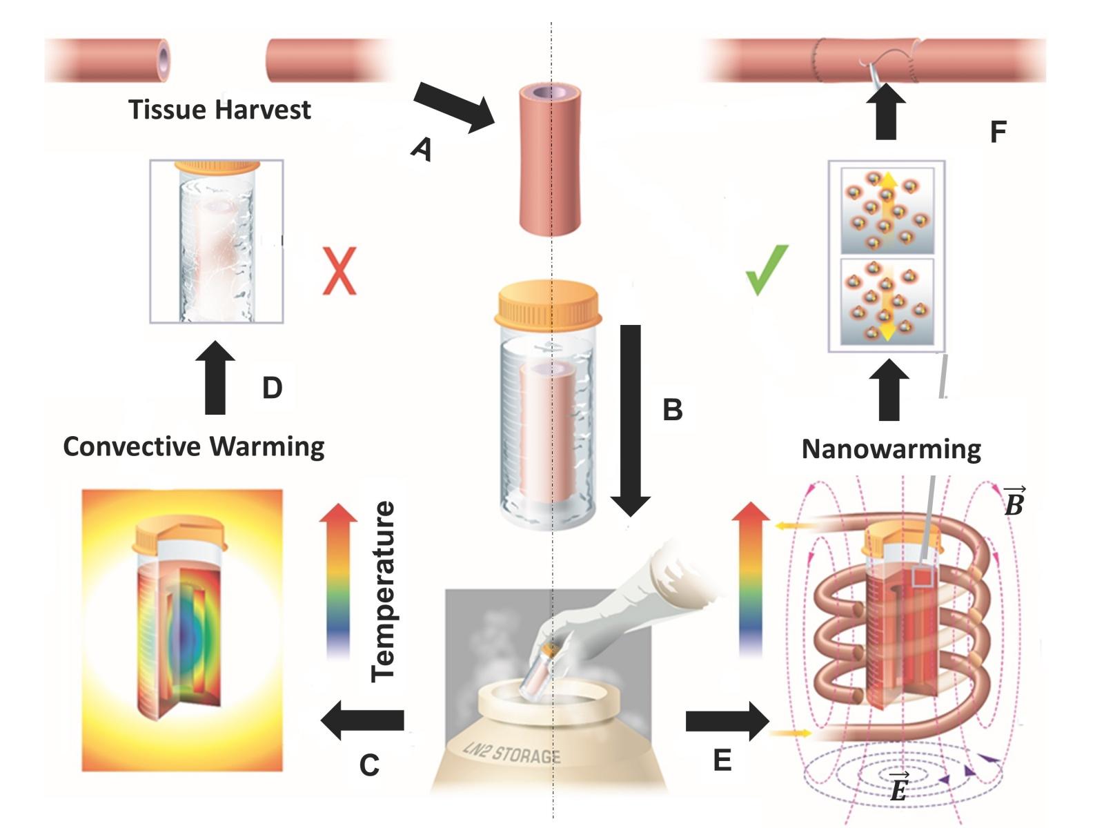 Исследователи разработали технологию быстрой разморозки криоконсервированной ткани - 2