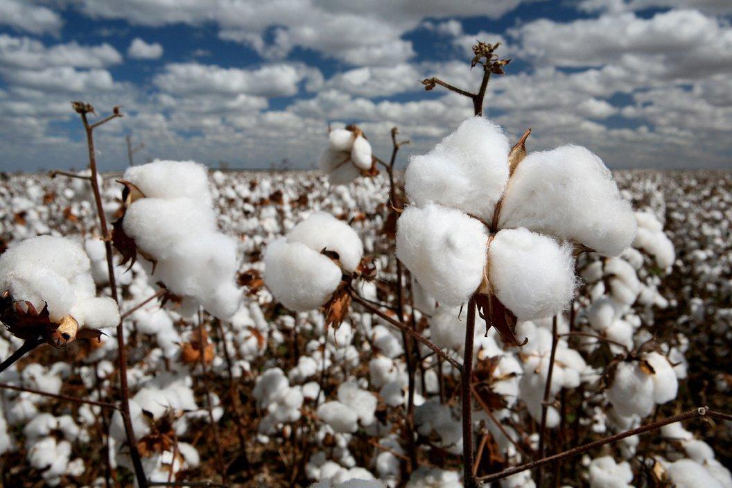 Отказ от выращивания неустойчивых к вредителям растений можно приравнять к запрету устойчивых ГМ-сортов - 1