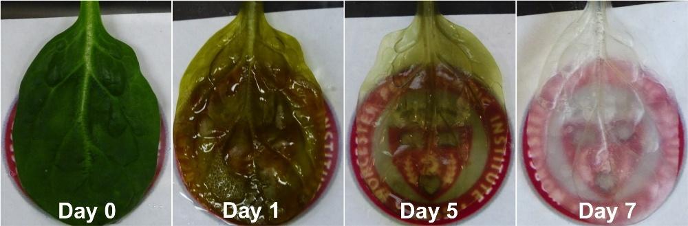 В листьях шпината вырастили клетки сердечной мышцы человека - 1