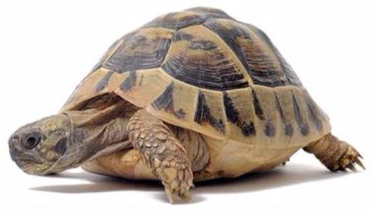 Корейские учёные установили телепатическую связь с черепахой