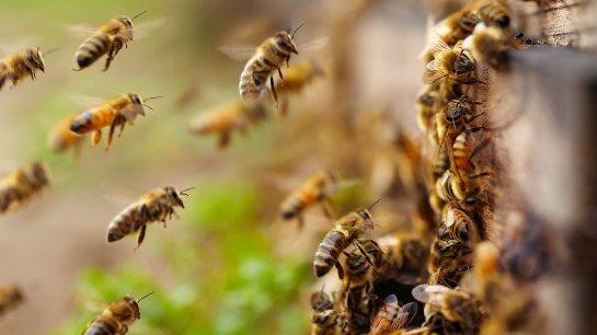 Ученые поняли, почему вымирают пчелы
