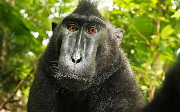 Активисты за права животных представляют в суде интересы макаки, которая сделала автопортрет, но не получила копирайт - 2