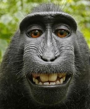 Активисты за права животных представляют в суде интересы макаки, которая сделала автопортрет, но не получила копирайт - 1
