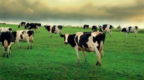 Иммунитет коровы легко справляется с ВИЧ