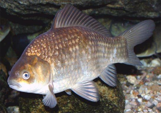 Некоторые рыбы могут вырабатывать алкоголь