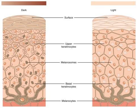 Загар — реакция организма на повреждение ДНК - 4
