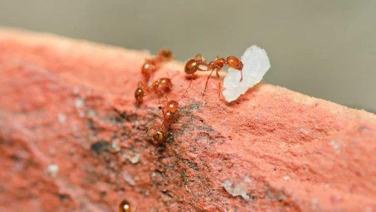 Огненный муравей может лечить псориаз