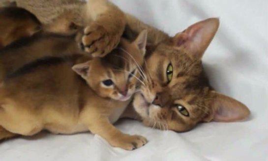 Котят нельзя рано отлучать от мамы