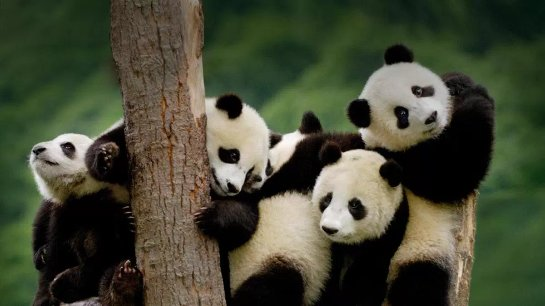 Ученые заявили, что панды могли зародиться в Европе