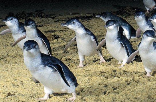 Малые пингвины разговаривают на территориальном диалекте