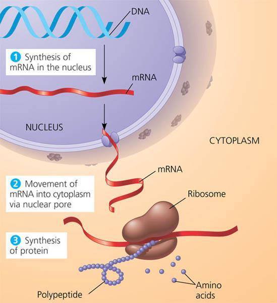 Штурм и натиск генной терапии старения - 5